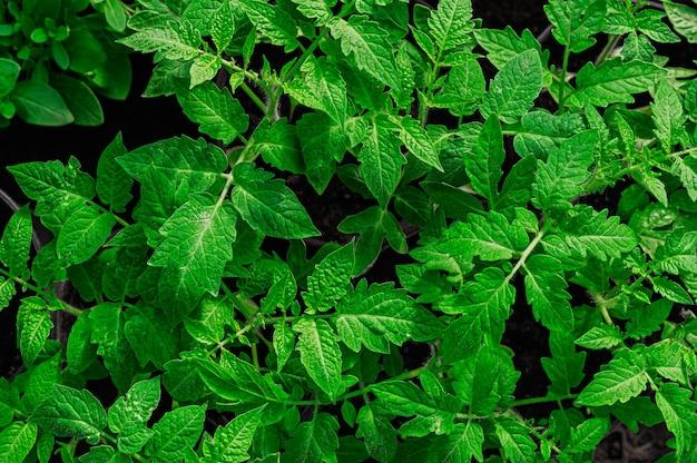 Mudas de tomate verde brilhante jovem, vista superior, close-up Foto Premium
