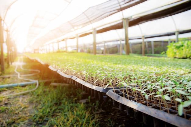 Mudas de vegetais orgânicos com luz solar. Foto Premium