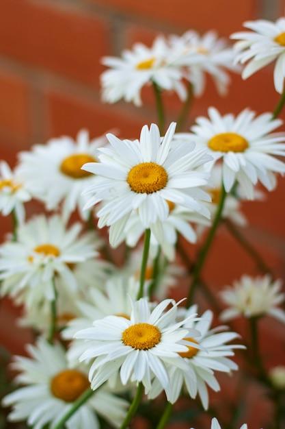 Muitas flores brancas daisy crescendo perto de uma parede de tijolos Foto Premium