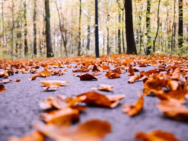 Muitas folhas secas de bordo de outono caídas no chão cercadas por árvores altas em um fundo desfocado Foto gratuita
