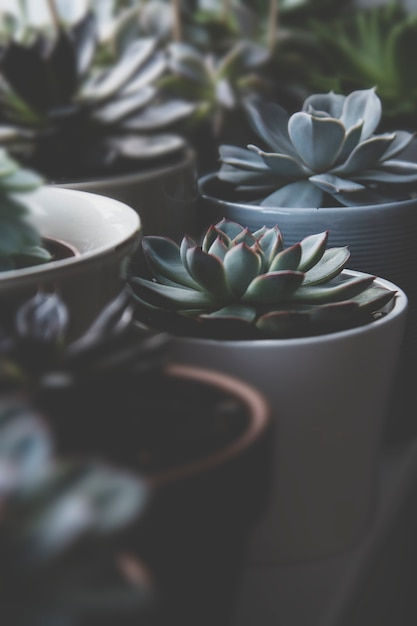 Muitas plantas suculentas, foto escura, roseta suculenta tonificada echeveria. Foto Premium