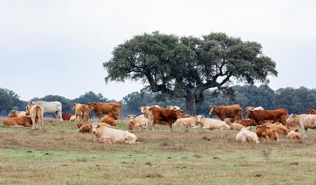 Muitas vacas pastando e descansando Foto Premium