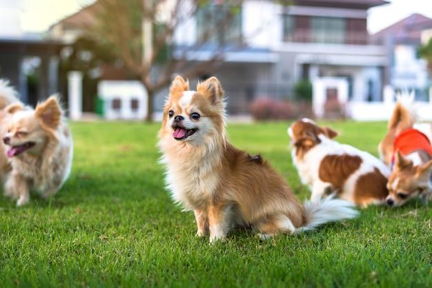 Muitos, chihuahua, cachorros, sentar, grama Foto Premium