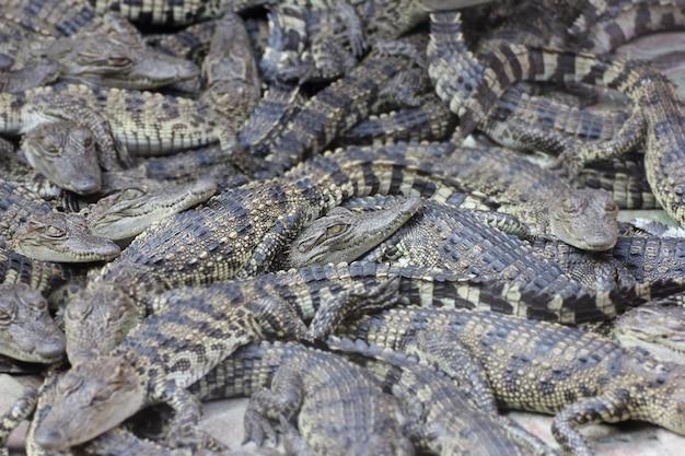 Muitos pequenos crocodilos Foto Premium