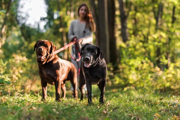 Mulher andando com seus dois labradores no parque Foto gratuita