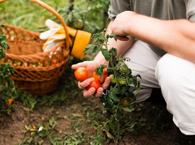 Mulher close-up, segurando, tomates Foto gratuita