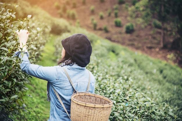 Mulher colheita / pegar folhas de chá verde fresco no campo de chá terra alta em chiang mai, tailândia Foto gratuita