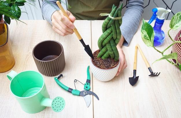 Mulher com as mãos, transplantando a planta sansevieria para um novo vaso. Foto Premium