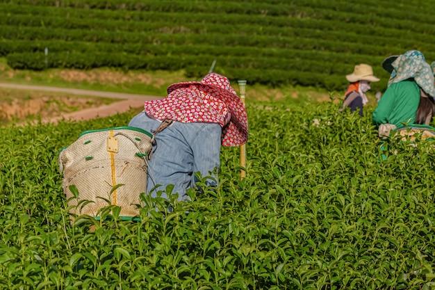 Mulher que trabalha na plantação de chá verde de manhã, chiang rai, tailândia Foto Premium
