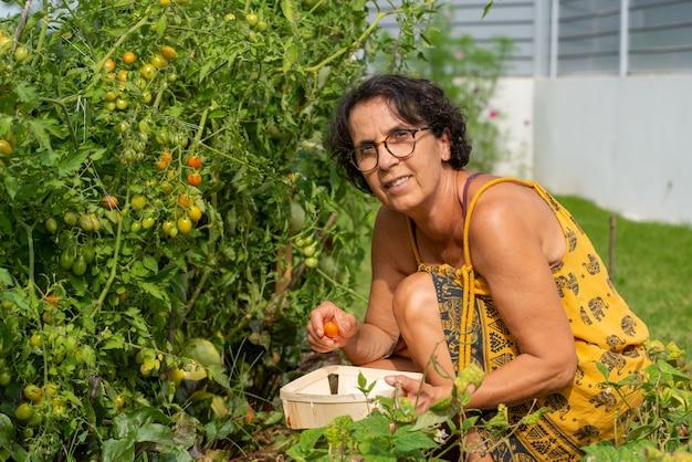 Mulher sênior, apanhar, tomates, de, horta Foto Premium