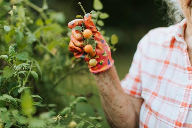 Mulher sênior, colheita, fresco, tomates cereja, de, dela, jardim Foto Premium