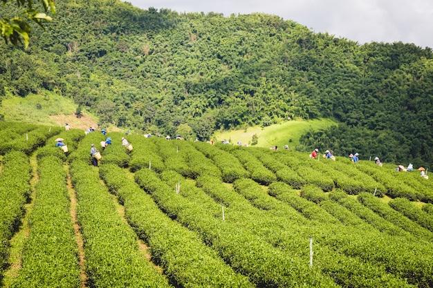 Mulheres, em, local, colina, tribo, segurando, jovem, chá verde, folhas, ligado, colina, à noite Foto Premium