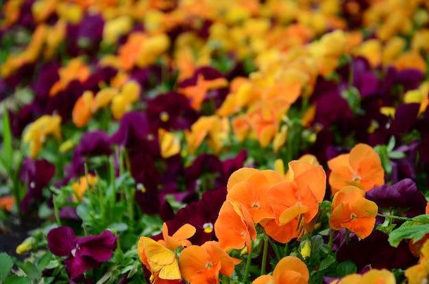 Multicolor amor-perfeito flores ou pansies close-up como plano de fundo ou cartão Foto Premium