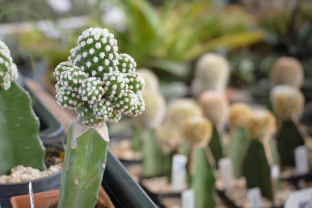 Na superfície da mesa há muitos pequenos cactos plantados em pequenos vasos. Foto Premium