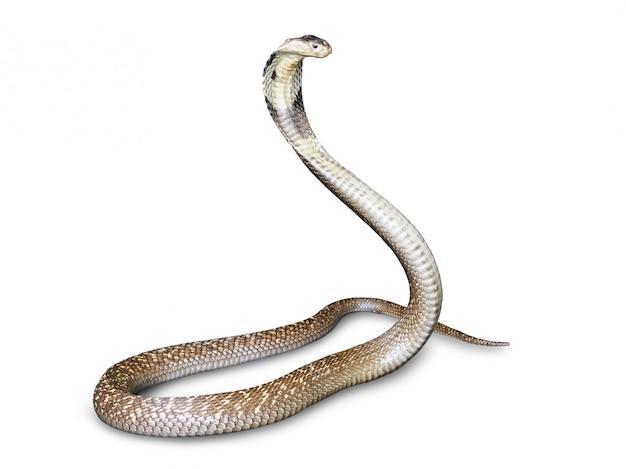 Nake cobra (naja kaouthia) isolado no fundo branco. este aspic, venenoso que vive no sudeste da ásia. Foto Premium