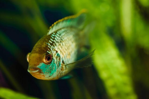 Nannacara blue aquarium fish Foto Premium
