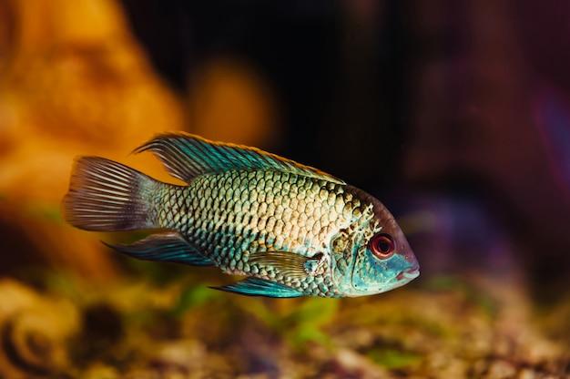 Nannacara. o peixe azul flutua em um close-up do aquário em casa. Foto Premium