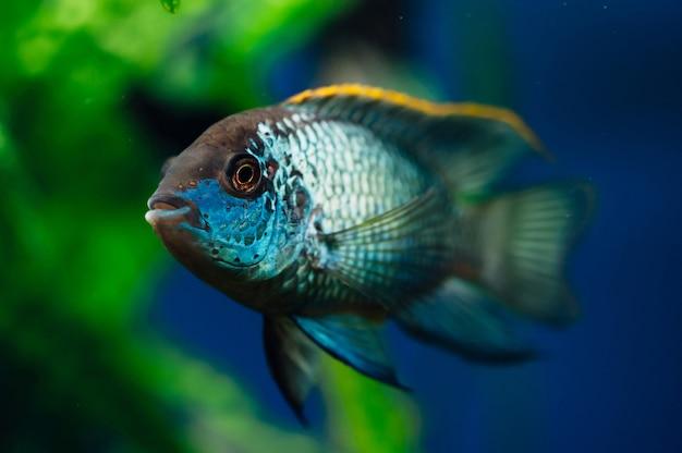 Nannacara. peixes de aquário azul Foto Premium