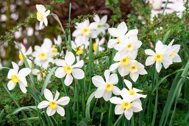 Narciso branco (narcissus poeticus) Foto Premium