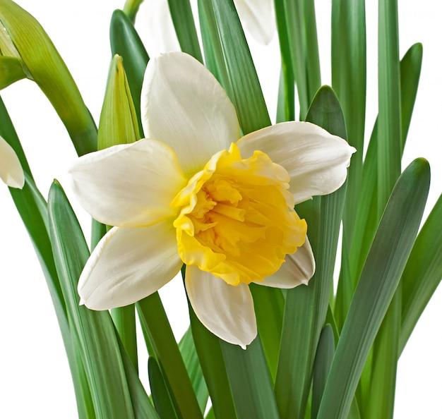 Narciso de flores de primavera isolado. Foto gratuita