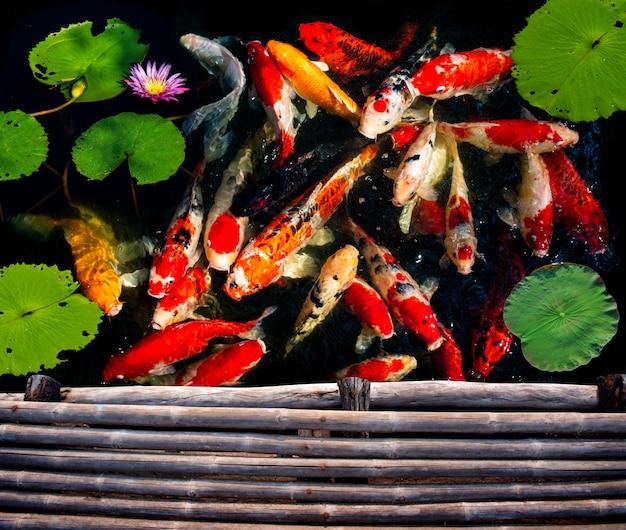 Natação de grupo de peixes koi. Foto Premium