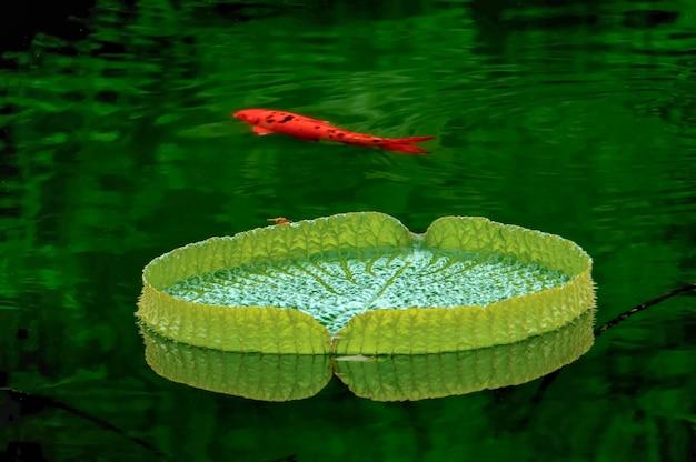 Natação dos peixes de laranja Foto gratuita