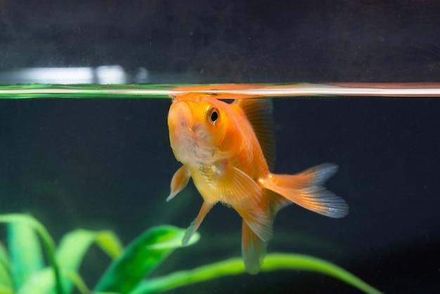 Natação flutuante de peixe dourado ou peixe dourado Foto Premium