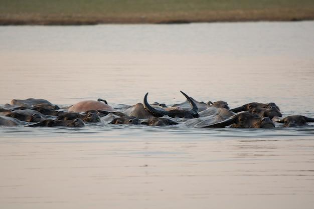 Natação tailandesa do búfalo do pântano no lago. Foto Premium