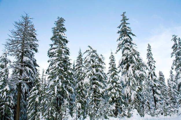 Neve caída em cedros Foto Premium