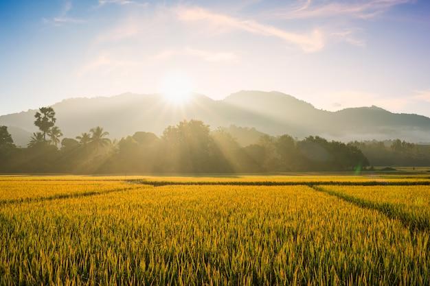 Névoa da manhã linda no campo de arroz. Foto Premium