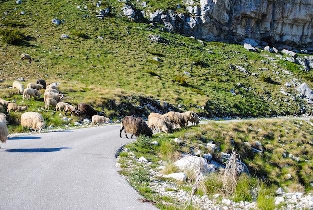 Norte de montenegro, animais na estrada Foto Premium