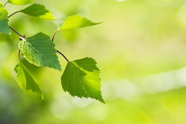 Novas folhas verdes em uma árvores no fundo da primavera Foto Premium