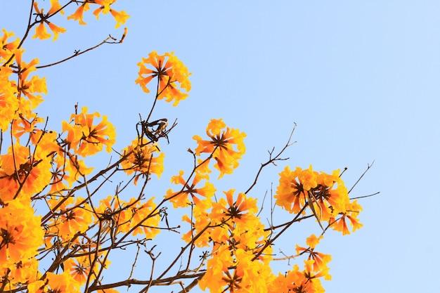 O anão da flor trumpe dourado floresce com céu azul. tabebuia chrysotricha flores Foto Premium
