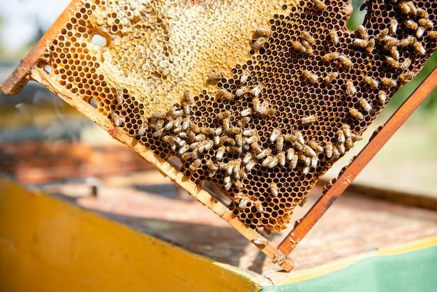 O apicultor abre a colméia, as abelhas conferem, conferem mel. apicultor, explorando o favo de mel. Foto Premium