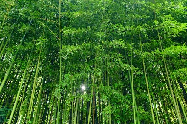 O bambu verde deixa o material de fundo. floresta de bambu. Foto Premium