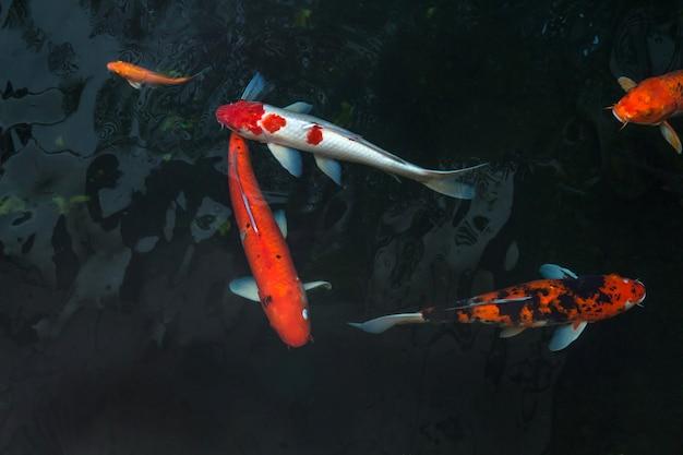 O belo peixe koi nadando na piscina escura, peixes de carpas extravagantes ou koi nadar na lagoa no jardim Foto Premium