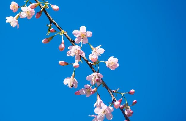 O borrado de cerasoides do prunus floresce no céu azul. sakura rosa sakura Foto Premium