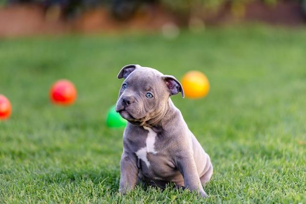 O cachorrinho americano bulli americano anda na grama no parque. Foto Premium
