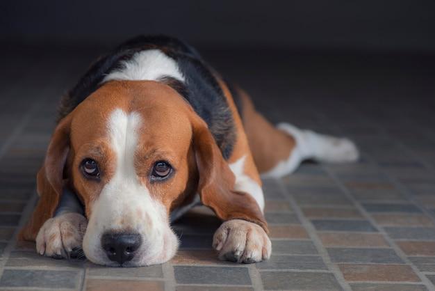 O cachorro beagle está sentado Foto Premium