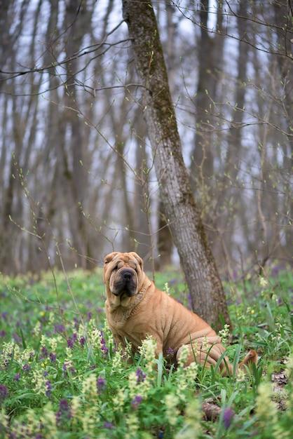 O cachorro é um shar-pei puro-sangue na floresta. floresta de primavera com flores Foto Premium