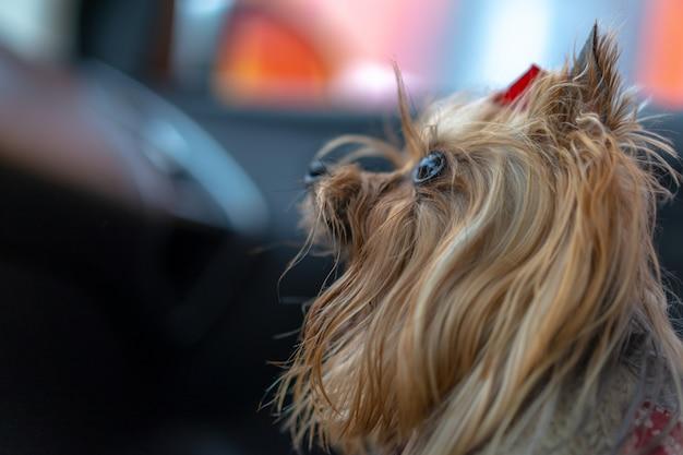 O cachorro está no carro Foto Premium