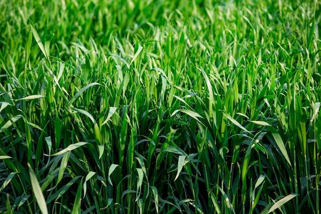 O campo de cereais Foto gratuita
