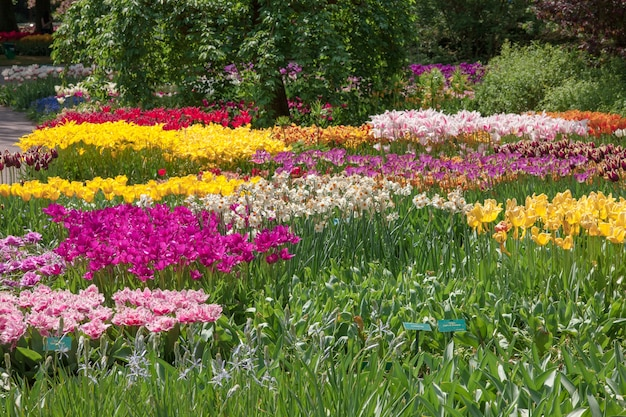 O campo de tulipas na holanda ou holanda Foto gratuita