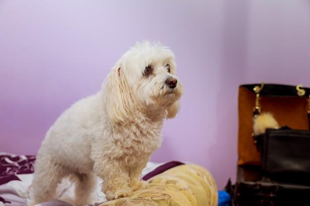 O cão de caniche engraçado coloca na cama com interno humano. cão fofo fofo branco poodle Foto Premium