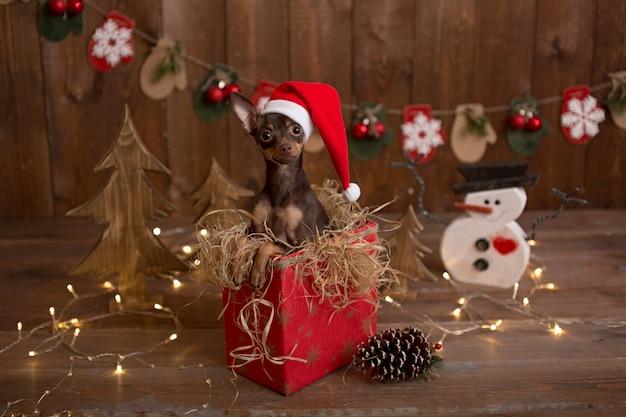 O cão do terrier do russo senta-se em uma caixa com presentes. feriado natal. Foto Premium