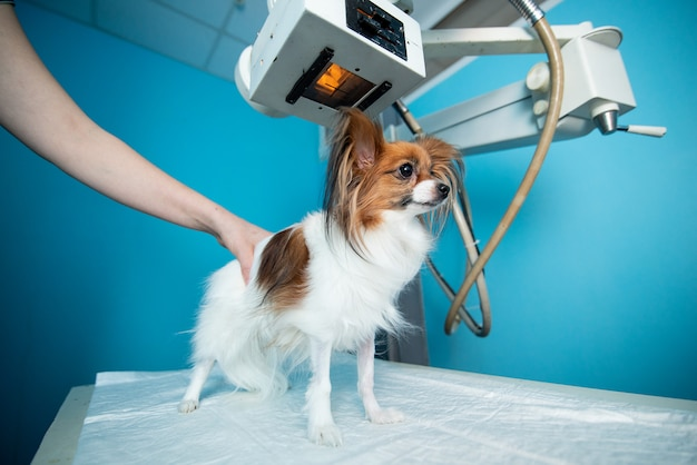 O cão doméstico está em cima da mesa sob a máquina de raios x. Foto Premium
