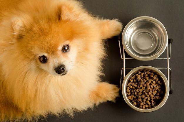 O cão spitz da pomerânia está comendo água e ração seca em uma tigela. Foto Premium