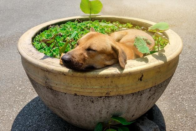 O cão tailandês de brown que dorme na bacia de lotus com tempo é quente e abafado Foto Premium