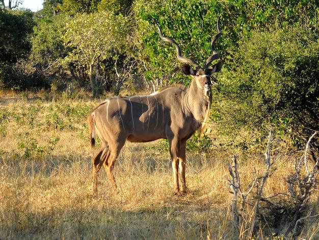 O cervo no safari no parque nacional de chobe, botswana, áfrica Foto Premium
