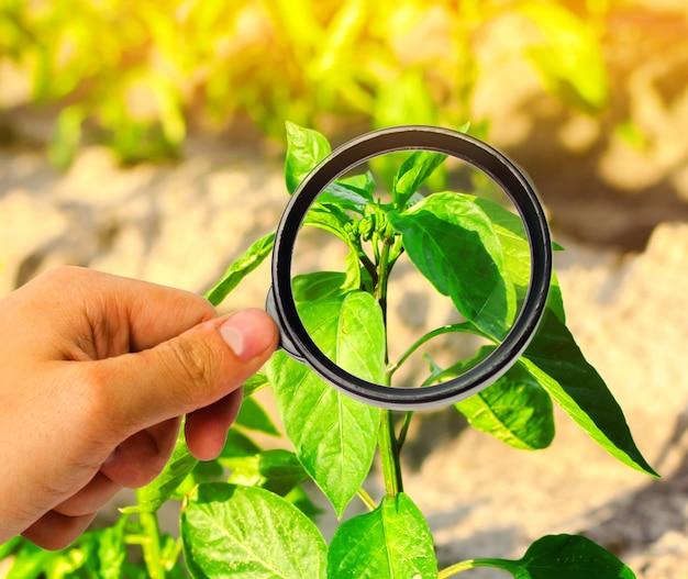O cientista de alimentos verifica a pimenta para produtos químicos e pesticidas. vegetais saudáveis. Foto Premium